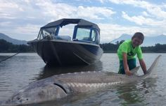 Outweighing the angler that caught it by several hundred pounds, this 10-foot monster is one of the largest sturgeon caught in the Fraser River this year.