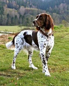 German Pointer > From Germany ........... Use today: Companion, Gundog ....... Colours: Liver / white, black, black / white, Liver