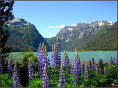 Lupines. Lago Frías, Neuquén - Argentina