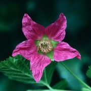 How to Grow Salmonberry Plants | eHow