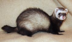 Female ferrets will die if they don't have sex while they're in heat. OMG Facts (@OMGFacts)   Twitter