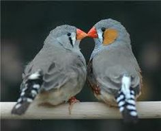 THE ZEBRA FINCH SOCIETY: http://www.zebrafinchsociety.co.uk/index.php?option=com_content&view=article&id=303%3Asouth-western-zebra-finch-club-2013-officials&catid=1%3Alatest&Itemid=2