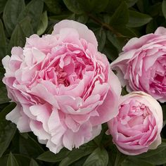 How to Grow Peonies from Nursery Pot - Sunset