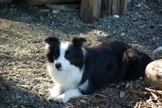 Skye-lost her at 4 yrs to cancer. Great dog. Willing to work sheep but did not have the stamina.
