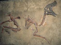 Cretaceous Lambeosaurus Dinosaur Fossil Photographic Print