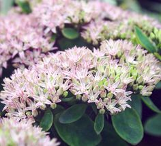 Sedums - the butterfly's friend and delightful late summer / autumn flowerers. This is Sedum seduction Green-Pink, with the delightful contrast of the soft pink and bright green. Loves sun or partial shade. Wholesale Nursery, Autumn Garden, Late Summer, Bright Green, Garden Planning, Garden Inspiration, Contrast, Sun, Plants