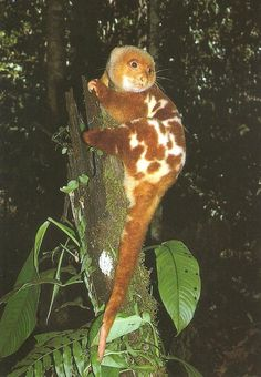 The common spotted cuscus (Spilocuscus maculatus) is a marsupial animal that lives in the Cape York region of Australia and New Guinea. It is about the size of a common house cat, weighing between 1.5 and 6 kg, body size approximately 35 to 65 cm long, and a tail 32 to 60 cm long. It has a round head, small hidden ears, thick fur, and a prehensile tail to aid in climbing. Its eyes range in color from yellows and oranges to reds, and are slit much like a snake