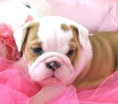 french bulldog puppies | French Bulldog Puppies just For You