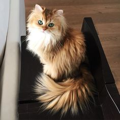 Is this the most beautiful cat in the world? Cute Cats And Kittens, I Love Cats, Crazy Cats, Kittens Cutest, Animals And Pets, Baby Animals, Funny Animals, Cute Animals, Animals Images