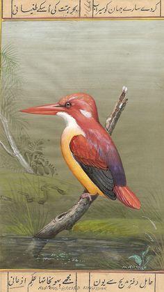 Red Backed Kingfishe
