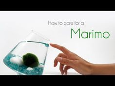 Marimo moss balls are easy to care for. Making a beautiful terrarium (or aquarium) for Marimos is fun and doesn't take much time. We will go over all the tips and design tricks you will need to know in today's post. Marimo Moss Ball Terrarium, Water Terrarium, Terrarium Containers, Garden Terrarium, Indoor Water Garden, Indoor Plants, Container Water Gardens, Ponds Backyard, Plant Care