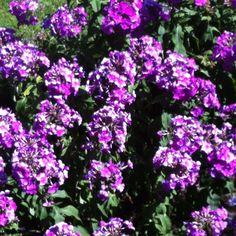 My fav in my backyard #garden #flowers