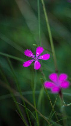 Pink beauty by jakimbo
