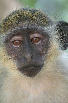 Green Vervet Monkey--Abuko Nature Reserve