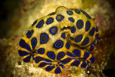 One of my most favourite creatures: Blue Ringed Octopus. One of the most deadly animals on Earth and only the size of a golfball. Watch out!