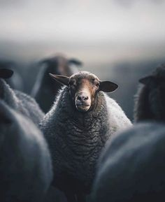 sheep in Iceland - Tierisches - Animals Farm Animals, Animals And Pets, Cute Animals, Beautiful Creatures, Animals Beautiful, Photo Animaliere, Sheep And Lamb, Cute Cows, Tier Fotos