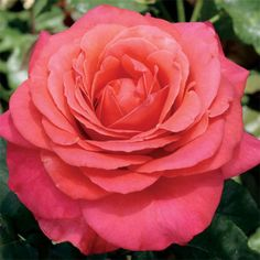Gardening Roses Lady Bird Hybrid Tea Rose - Light Fragrance - (PP