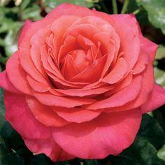 Gardening Roses Lady Bird Hybrid Tea Rose - Light Fragrance - (PP Bed Of Roses, Pink Roses, Orange Roses, Lavender Roses, Types Of Roses, Growing Roses, Hybrid Tea Roses, Rose Bush, Yellow Roses