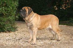 Mastiff Dog Breed Information Mastiff Dog Breeds, Loyal Dog Breeds, English Mastiff Puppies, Dog Breeds List, Akc Breeds, Loyal Dogs, Best Dog Breeds, Most Cutest Dog, Massive Dogs