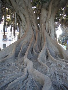 love this tree with it's awesome roots from valencia, spain... good memories there :)