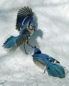blue jays in the snow