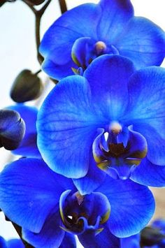 """This is a blue orchid. Orchids are very fragrant flowers that will bloom a lot if taken care of properly. Orchids like a """"breezy"""" environment with lots of sunlight. ~Me  #flowers   #orchidlovers   #orchidphotography"""