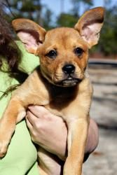 Cherry is an adoptable Labrador Retriever Dog in Athens, GA. We require a home visit for all of our adoptions. Because of this, we only adopt to homes within 30 minutes of Athens, GA. Please visit our w...