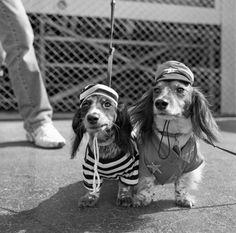 Afbeelding via We Heart It https://weheartit.com/entry/159445670 #blackandwhite #cop #costume #cute #dachshund #dogs #prisoner #puppies #stripes