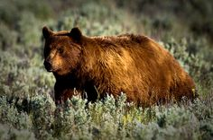 Grizzly Bear in Yellowstone National Park, Wyoming, Western USA_ USA