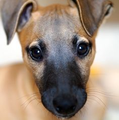 Whippet Pup by Hot Dog Photography on 500px