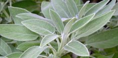 Salbei: gegen graue Haare, für gesunde Zähne und viel mehr You must have known for a long time that sage is healthy. Did you also know that it helps with gray hair and cleans teeth? Salvia Officinalis, Herbal Plants, Medicinal Plants, Herbal Tea, Herbal Remedies, Home Remedies, Plants That Repel Bugs, Cura Diabetes, Natural Mosquito Repellant