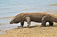 The Komodo dragon (Varanus komodoensis) Reptiles And Amphibians, Mammals, Komodo Dragon Pictures, Big Iguana, Dragon Facts, San Diego Zoo, Wild Dogs, Domestic Cat, Fauna