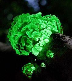 phosphorescent plants - Google Search