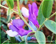 Wyoming Wildflower - American Vetch