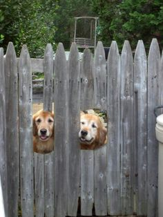 Two Neighbor Golden Retrievers Greeting us at their Gate Door. (awww, i want these guys for my neighbors! I Love Dogs, Cute Dogs, Cute Puppies, Animals And Pets, Funny Animals, Cute Animals, Golden Retrievers, Dog Pictures, Animal Pictures
