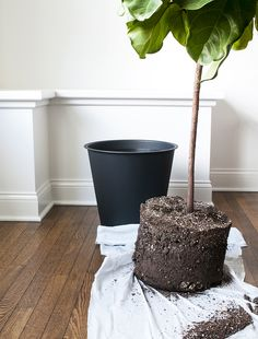 We've organized a step-by-step guide, complete with photographs, to show you how to repot a fiddle leaf fig tree.