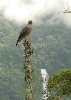 Roadside hawk in the foreground - Diamante waterfall in the background - Costa Ballena Costa Rica
