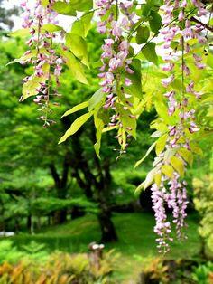 「本紅」というピンクの藤は簪のよう - 奈良・万葉植物園にて (2012/5/8)