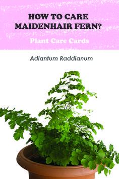 water, soil mixture, light, temperature all info you need to care your adiantum raddianum easy #adiantum #plantcare #caretips #soilmixture #perlit #compost #houseplant #iloveplant #sand