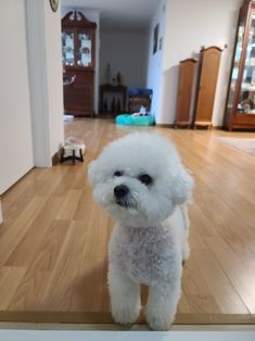 Cortes Poodle, Bichon Frise, Animals And Pets, Puppies, Dogs, Carpet, Lounge, Cutest Baby Animals, Animal Kingdom