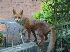 Urban fox in london garden Jubilee Line, London Garden, North London, Great Restaurants, Carnival, Fox, Lipstick, Urban, Places