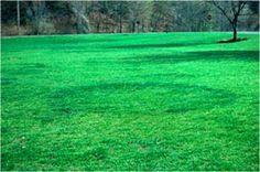 Fairy Rings Fungus Lawn Disease #fairyrings #lawndisease