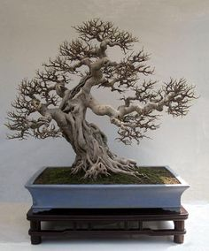 """Fig (Ficus retusa) Penjing created by Ye Mingxuan from Guangdong Province. This tree, 42-1/4"""" tall, has been defoliated for an exhibit to show its fine ramification. It is planted in a 41"""" container."""