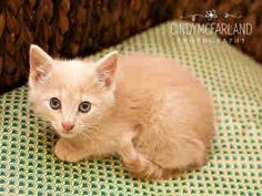 Peter is a two month old cream colored #kitten.  He is available at Forsyth County Animal Control in Winston-Salem, NC.  See more info at Project Pearl on Facebook or http://www.co.forsyth.nc.us/animalcontrol/  Please adopt a shelter pet! #adopt #pet