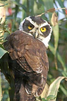 ? owl