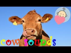 Cow sounds effect | Cow mooing, growling | Animal sounds for children to learn - YouTube
