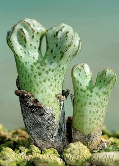Conophytum turrigerum EVJ Weltervrede 2011 | Flickr - Photo Sharing!