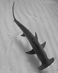 Great Hammerhead by Annie Guttridge Underwater Art, Underwater Creatures, Ocean Creatures, Pesca Sub, Sea Creatures Drawing, Aggressive Animals, Types Of Sharks, Shark Tattoos, Hammerhead Shark Tattoo