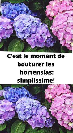 Dire, Voici, Floral, Green, Nature, Lifestyle, Garden, Hydrangeas, Container Gardening