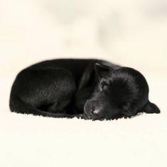 #italiangreyhound #charcikwloski